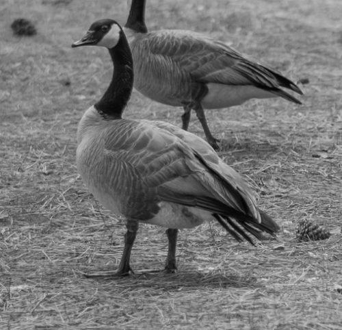 Lake Tahoe, Gänse fühlen sich gleichermassen wohl. Schöne Vögel!